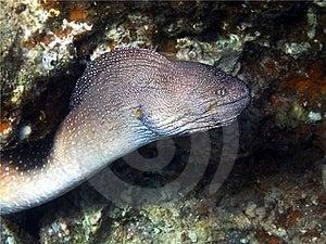 Murena - Um Predador Da Noite Imagens de Stock Royalty Free - Imagem: 24158679