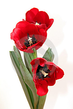 The Opened Tulips Royalty Free Stock Images - Image: 24159029