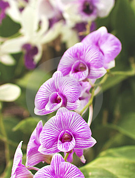 Purple Orchid Royalty Free Stock Photos - Image: 24171478