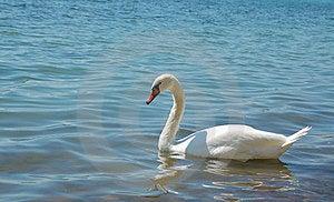Swan Stock Image - Image: 24173971