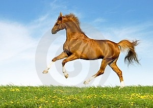 Chestnut Horse Gallops In Field Stock Photos - Image: 24176453