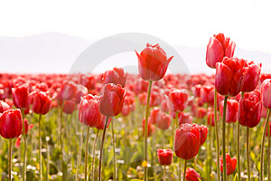 Cheerful Spring red tulips