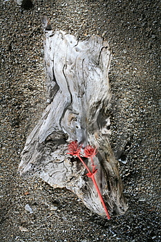 Driftwood With Red Thistle Royalty Free Stock Photo - Image: 2424345