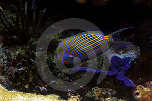 Tropical Fish №10 Stock Photo - Image: 2426130