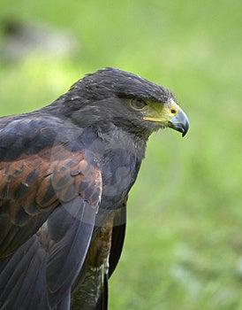 Harris Hawk Stock Photography - Image: 2427082