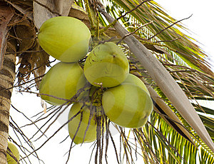 Clusters Of Green Coconuts Stock Photo - Image: 24204580