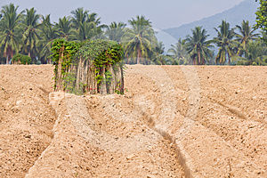 Breeding Sapling Of Cassava And Soil Cultivation Royalty Free Stock Photography - Image: 24207827