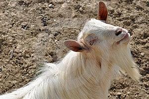 Horn Beard Goat Royalty Free Stock Photo - Image: 24220135