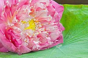 Beautiful Pink Lotus Stock Photos - Image: 24222083