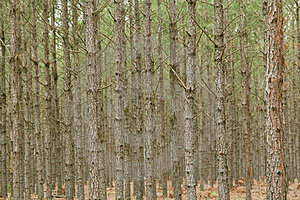 Pine Tree Forest Royalty Free Stock Photo - Image: 24234405