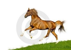 Chestnut Horse Isolated Stock Image - Image: 24240141