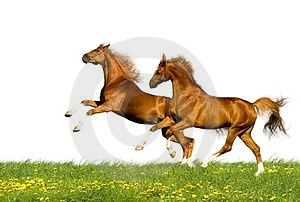 Two Chestnut Horses Isolated Stock Images - Image: 24240144