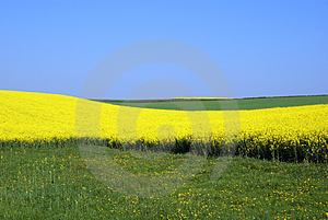 Rapeseed And Meadow Royalty Free Stock Photos - Image: 24242148