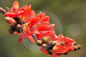 Red Silk Cotton Tree Flower Stock Photography - Image: 24242232