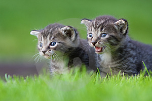 Two Kitten Royalty Free Stock Images - Image: 24269879