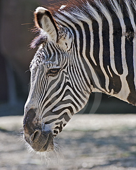 Zebra Portrait Royalty Free Stock Photography - Image: 24283797