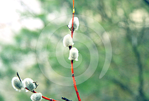 Pussy Willow Branch Royalty Free Stock Images - Image: 24294189
