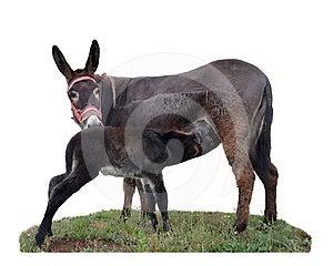 Baby Donkey Suckling Royalty Free Stock Photos - Image: 24294738