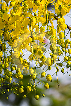 Golden Shower Tree Royalty Free Stock Images - Image: 24298359