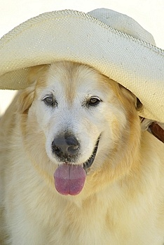 Golden Retriever With Sunhat Stock Images - Image: 2430034