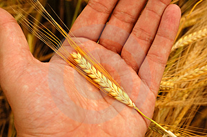 Holding wheat Royalty Free Stock Photo