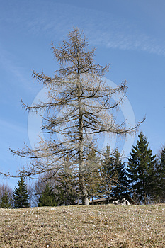 Larch Royalty Free Stock Image - Image: 24325006