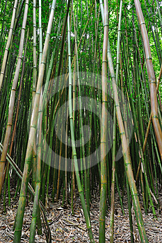 Bamboo Forest Maui, Hawaii Stock Photos - Image: 24326673