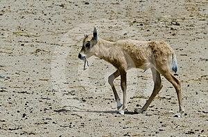 Baby Of Herbivorous Antelope Oryx (Oryx Leucoryx) Stock Image - Image: 24328471
