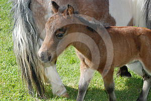 Miniature Foal Royalty Free Stock Image - Image: 24346586