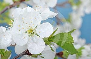 Cherry Tree Blossom Royalty Free Stock Photography - Image: 24393627