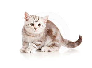 A Playful Kitten. British Breed. Marmor. Stock Photography - Image: 24395582