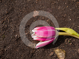 Tulip Royalty Free Stock Photography - Image: 24415817