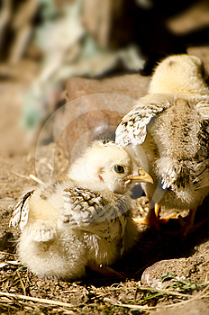 Chicks In The Farmyard Royalty Free Stock Photo - Image: 24423375