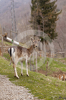 Chamois Royalty Free Stock Photo - Image: 24444475