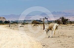 Animal In Hai Bar Nature Reserve, Israel Stock Photos - Image: 24445283