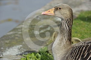 Portrait Of A Goose Stock Photography - Image: 24448162