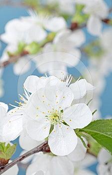 Cherry Bloom Stock Photography - Image: 24457172