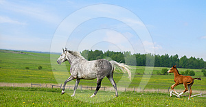 Mare And Foal Runs Gallop In Pasture Royalty Free Stock Photo - Image: 24459045