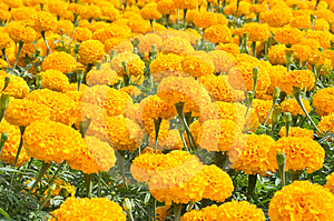 Group Of Orange Flower Royalty Free Stock Images - Image: 24469499