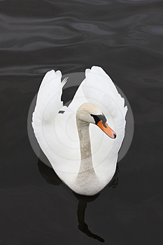 Swan Stock Images - Image: 24486584