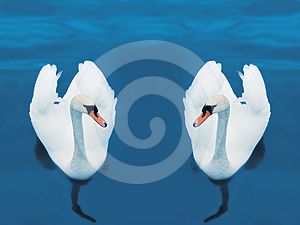 Swimming Swans Royalty Free Stock Images - Image: 24486599
