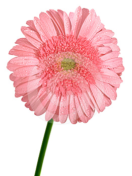 Pink Gerbera Flower Royalty Free Stock Photography - Image: 24488077