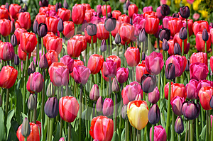 Pink And Purple Tulips Stock Images - Image: 24499094