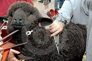 Black Sheep Sheared Stock Photo - Image: 2451530