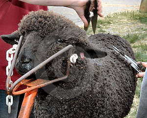 Shear Black Sheep Royalty Free Stock Photography - Image: 2451607