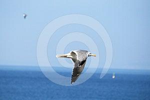 Sea Gull Royalty Free Stock Photo - Image: 24510505