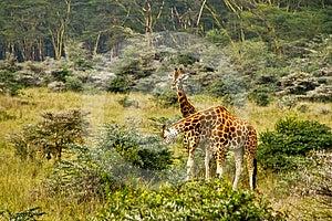 Giraffes Royalty Free Stock Photo - Image: 24510935