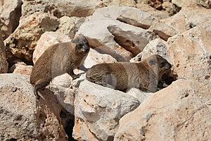 Cape Hyrax (Procavia Capensis) Stock Image - Image: 24511121