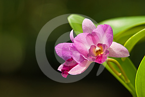 Pink Orchid Royalty Free Stock Photography - Image: 24530817