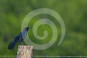 Grackle Commun Photos stock - Image: 24537293